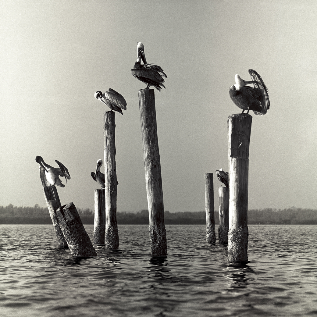 //charliemcculloughphotography.com/wp-content/uploads/2018/05/Pelicans-on-Pilings-W.jpg